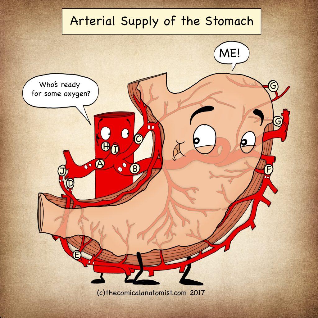 Stomach anatomy blood supply