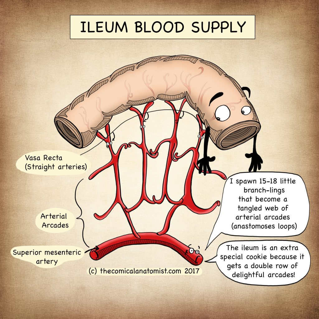 Ileum blood supply