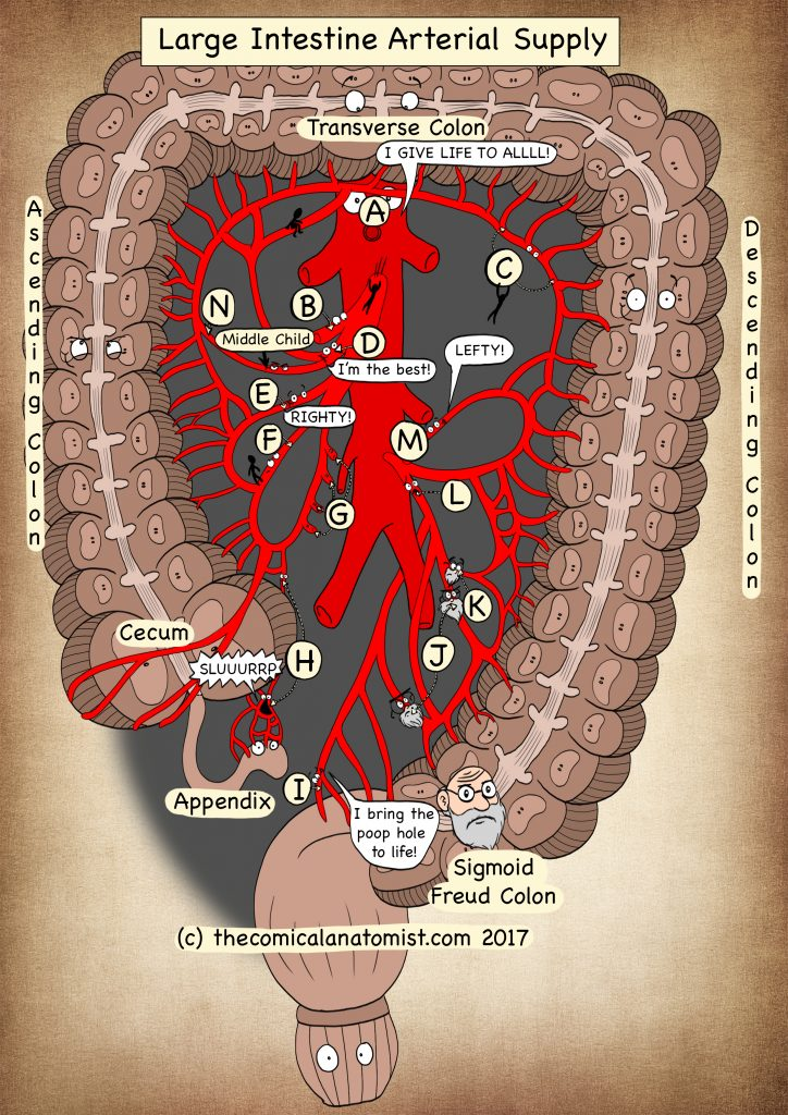 Arterial supply of the large intestine