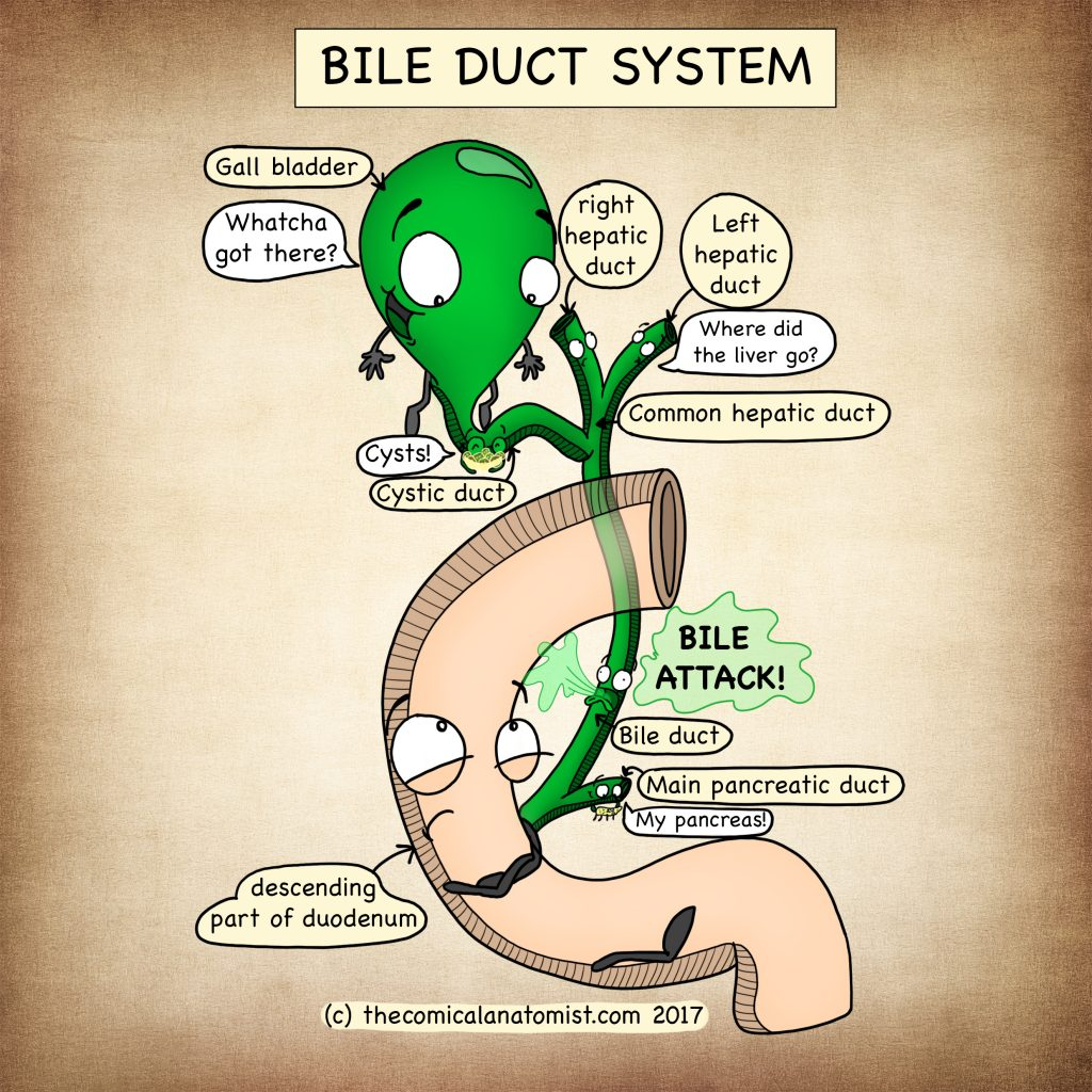 Duct system of the gallbladder