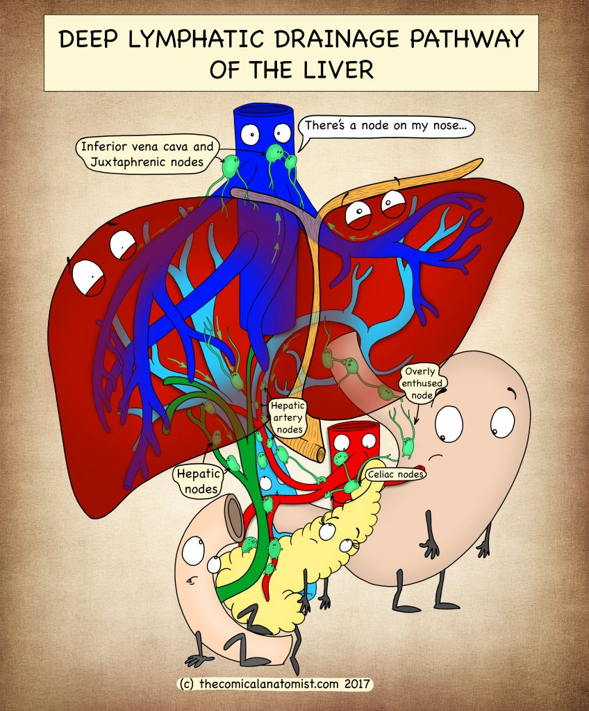 Lymphatic drainage of the liver (deep pathway)