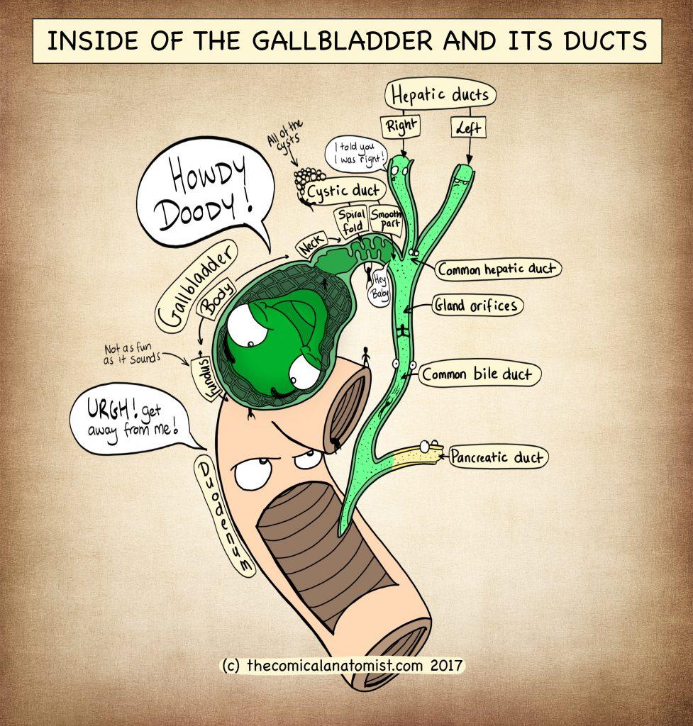 Inside of the gallbladder