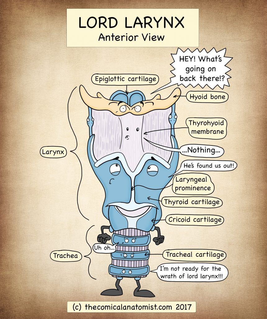 Larynx Anatomy Archives - The Comical Anatomist