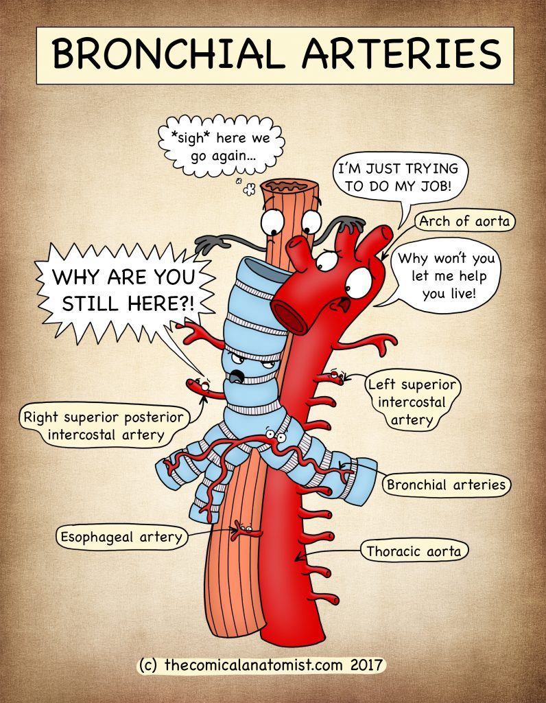 Bronchial Arteries - The Comical Anatomist