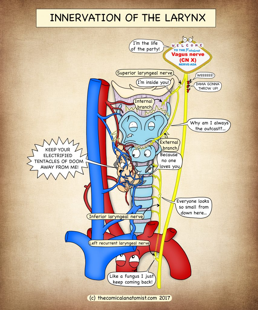 Innervation of the Larynx - The Comical Anatomist