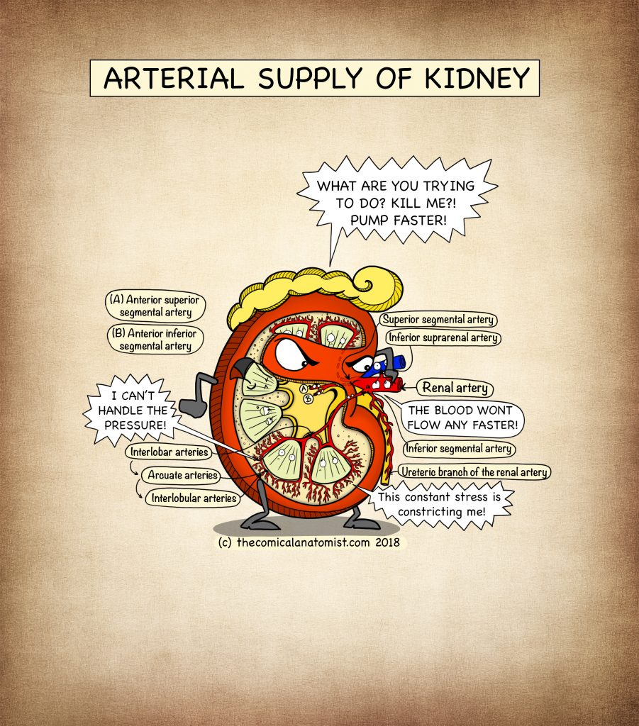 Renal Blood Supply