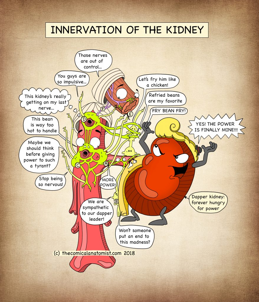 Innervation of the kidney