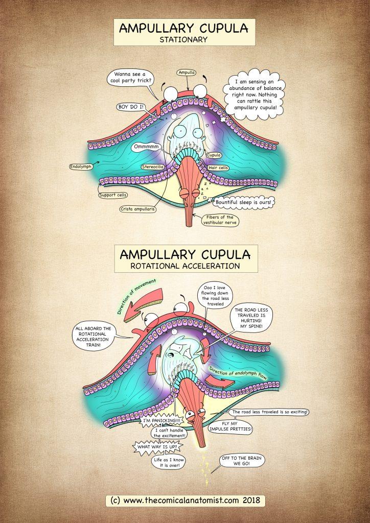 Ampullary Cupula